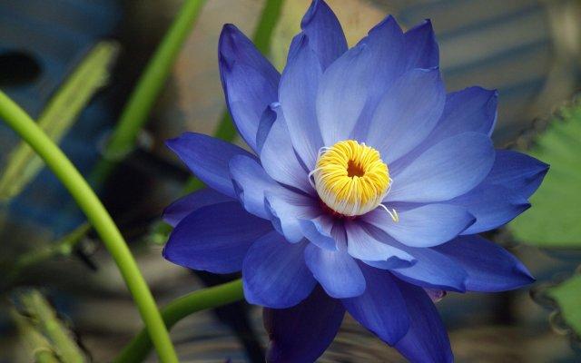 flor-de-loto-azul