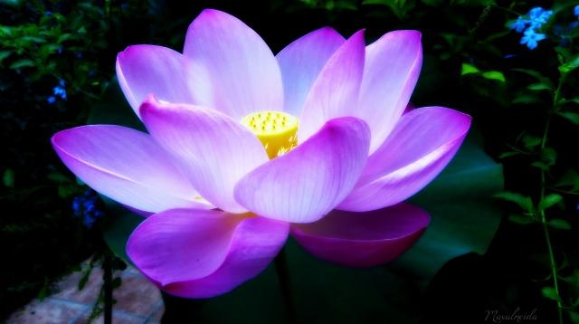 loto-rosa-loto-sagrado-nelumbo-nucifera1