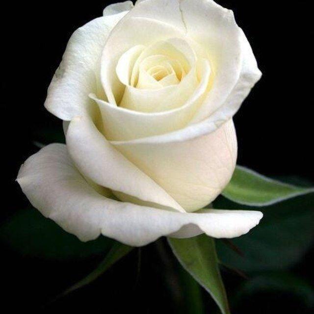 cultivo-una-rosa-blanca
