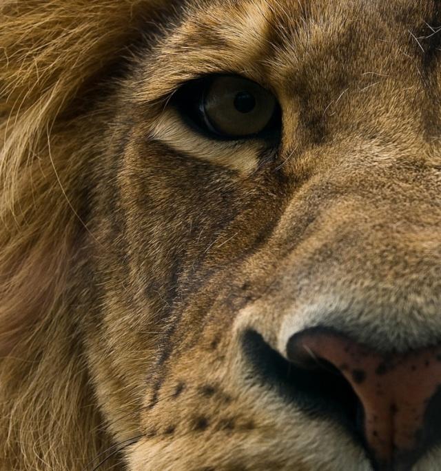 lions_